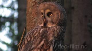 Great Grey Owl - Strix nebulosa