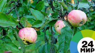 В Таджикистане начали выращивать яблони европейских сортов - МИР 24