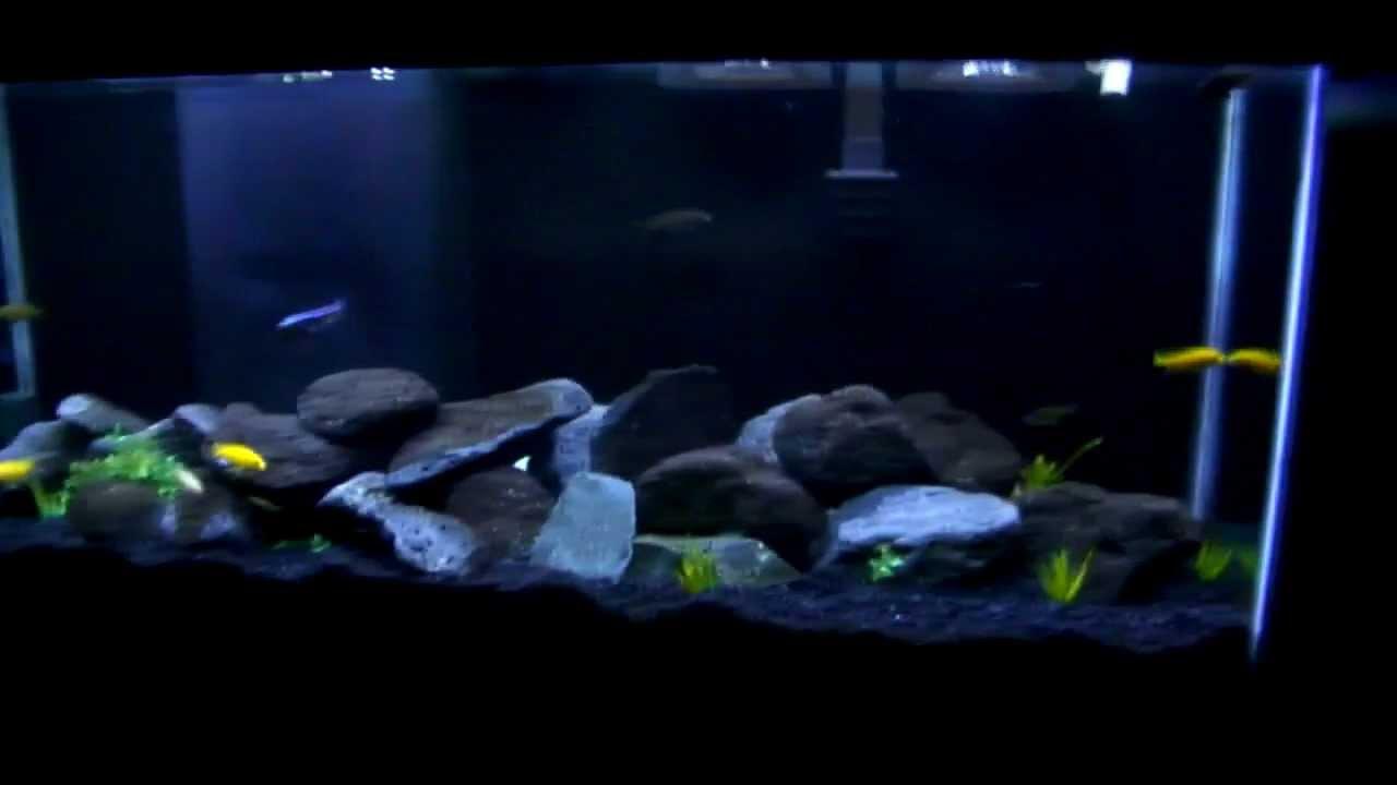 African Cichlid 55 Gallon Mbuna Aquarium   Doovi