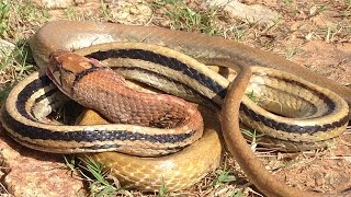 Amazing Man attack big snake in khmer-catching biggest snake by hands-How To Find Big Snake-Shocking
