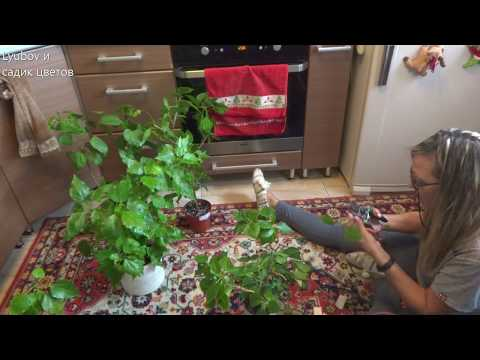 Комнатные цветы/Обрезка гибискусов/Формировка кроны/Есть вопросы