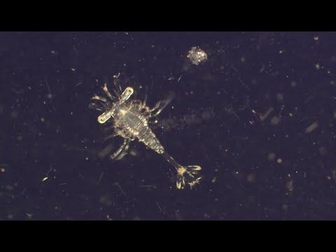 Plankton. The Most Vital Organisms On Earth - World Oceans Day - BBC Earth