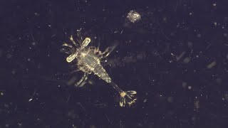 Plankton. The Most Vital Organisms On Earth - World Oceans Day - BBC Earth