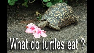 What do turtles eat ? I Turtles Love Watermelon!