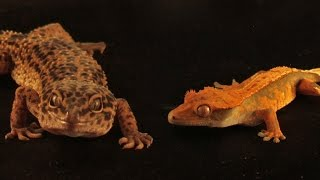 Can Crested & Leopard Geckos Live Together? | FAQ FRIDAYS