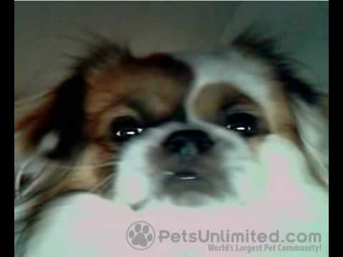 Tibetan Spaniel Dog Untitled Video