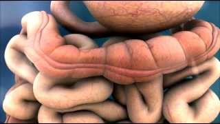 3D Medical Animation - Peristalsis in Large Intestine/Bowel || ABP ©