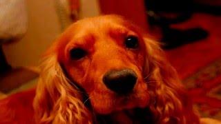 Собаки породы Английский кокер спаниель