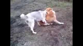 Сука алабай нападает на кобеля. Собаки породы Алабай. . Домашнее видео САО