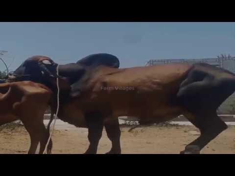 A man help Brahaman vs kobe love ll breeding cow in my villages.