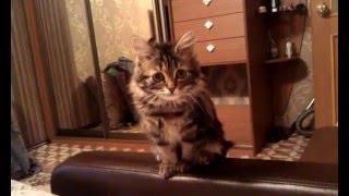"""Сибирская кошка, котенок с буквой """"Ю"""" на боку. окрас черный мрамор."""