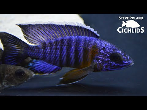 Wild Caught African Cichlid Unboxing