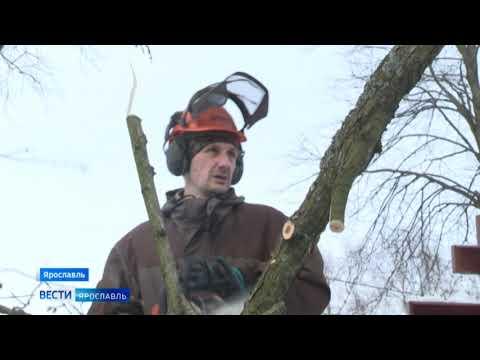 В Ярославле продолжается работа по опиловке аварийных деревьев