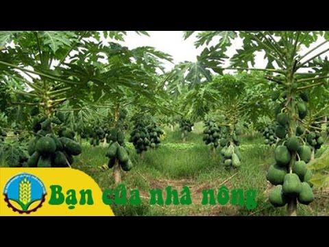 Mô hình trồng chăm sóc cây đu đủ cho năng xuất cao
