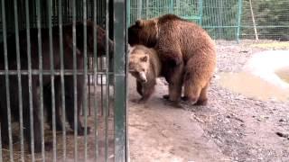 Медведи ( реабилитационный центр «Синевир») .mp4