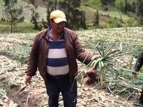 Cebolla red coach en Ventaquemada Boyaca