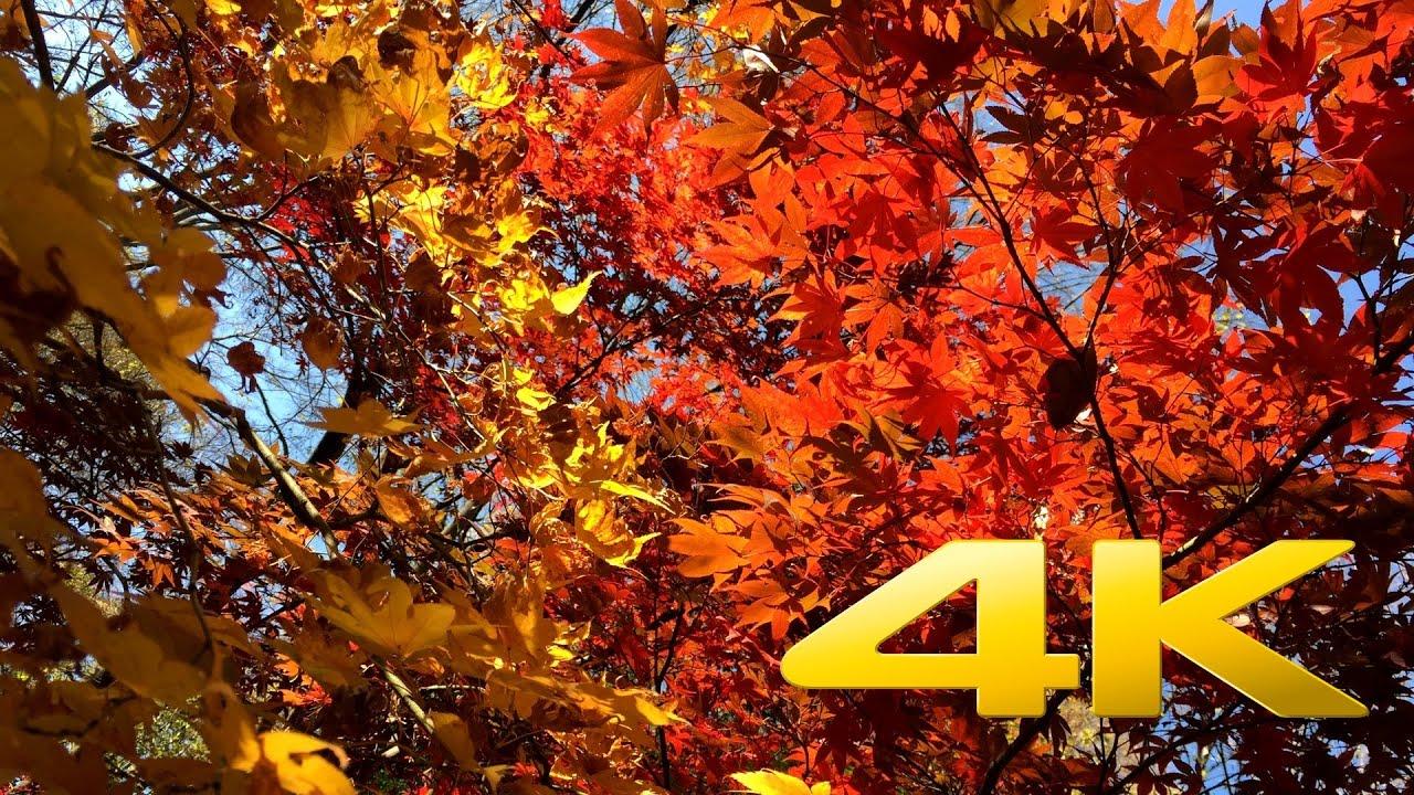Fall Harvest Desktop Wallpaper Autumn Leaves Near Tokyo Tower 紅葉 4k Ultra Hd Youtube