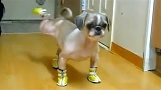 Dogs Wearing Shoes -Dog Swimming in Air -Funny Animal Compilation