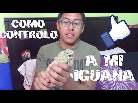 ¿Como educar a tu iguana? 1