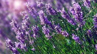 Ngất ngây mùa hoa oải hương xứ Provence