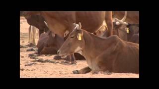 Insémination Artificielle Bovine au Niger