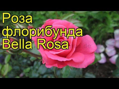 Роза флорибунда Белла роза. Краткий обзор, описание характеристик, где купить саженцы Bella Rosa
