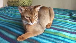 Абиссинская порода. Видео с абиссинским котом ( smartaby.com )