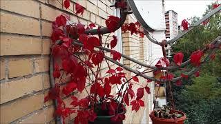 Девичий виноград на антенне за окном | Parthenocissus on the antenna outside the window