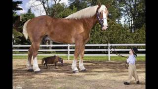Big Jake World's Tallest Horse - Guinness World Record Holder