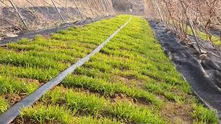 산마늘 재배 발아 성공 풀관리