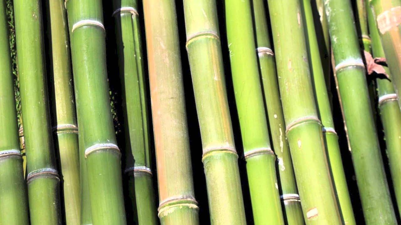 C mo cuidar bamb youtube - Bambu planta exterior ...