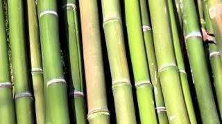 Cómo cuidar bambú