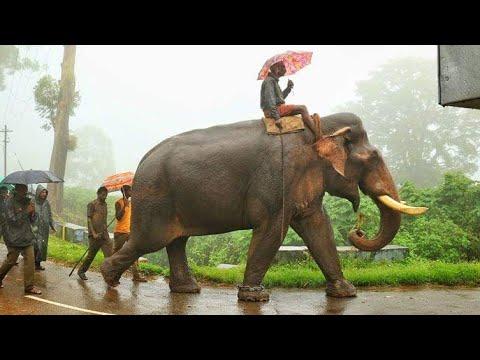 Kalim Kumki Anamalai Elephant ഇവന്റെ മുന്നിൽ മുട്ട്മടക്കാത്ത കാട്ടുകൊമ്പന്മാർ ചുരുക്കംWild hunder