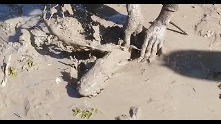พลิกแผ่นดินล่า มาเป็นฝูง - catching mud fish - DUM TV