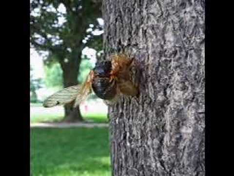 Cicada coming out of it s shell youtube