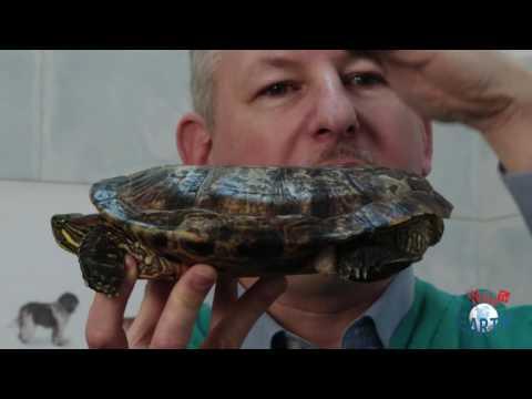 Alimentazione tartaruga d 39 acqua clinica veterinaria b for Acquario tartarughe grandi