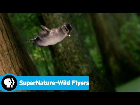 SUPERNATURE - WILD FLYERS   Wood Ducklings   PBS