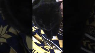 Katie Scarlett Kneading and Purring