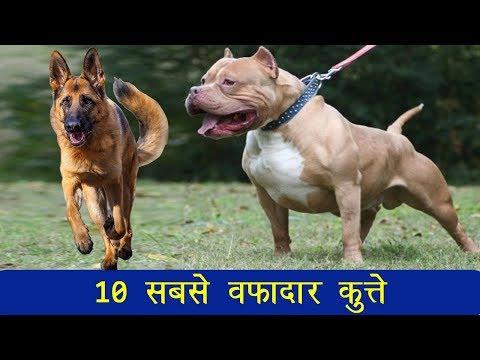 10 सबसे वफादार कुत्तों की नस्लें जो हैं सबसे खतरनाक भी, आपके पास कौनसा है?