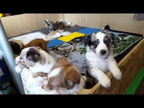 6 week old aussie heeler puppies