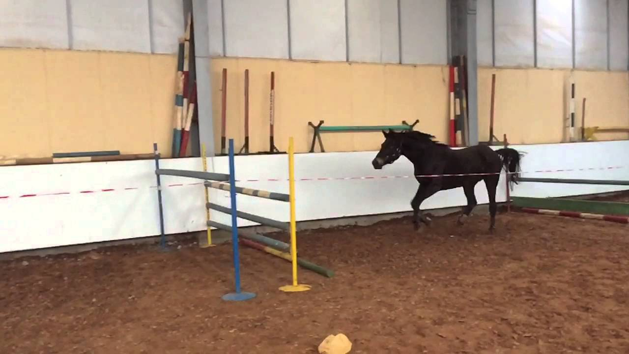Trakehner Pracht 3y6m Mare By Tzigane For Sale Youtube