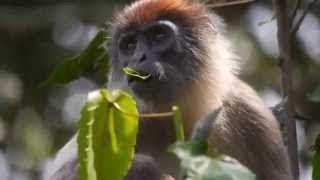 Из жизни обезьян Дикие животные From the life of monkeys wild animals