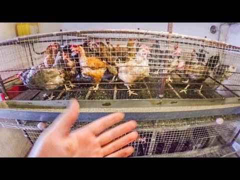 Разведение кур несушек в домашних условиях Клеточное содержание кур или напольное - zolotyeruki
