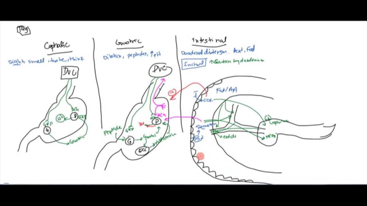 02 Stomach Anatomy and Physiology - YouTube