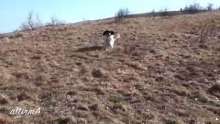 English Setters Mik E Risco & Cavalier King Charles Spaniel Pio