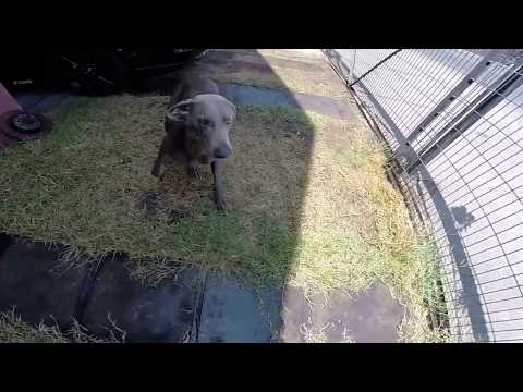 Weimaraner playing and attacking