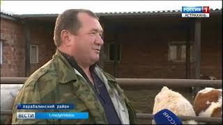 В Астраханской области фермеры выращивают коров необычной голштинской породы
