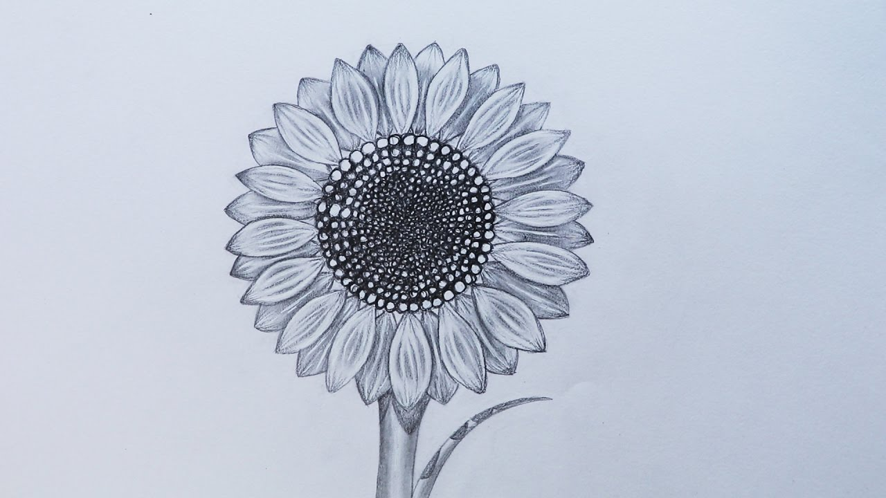 hight resolution of how to sketch a sunflower