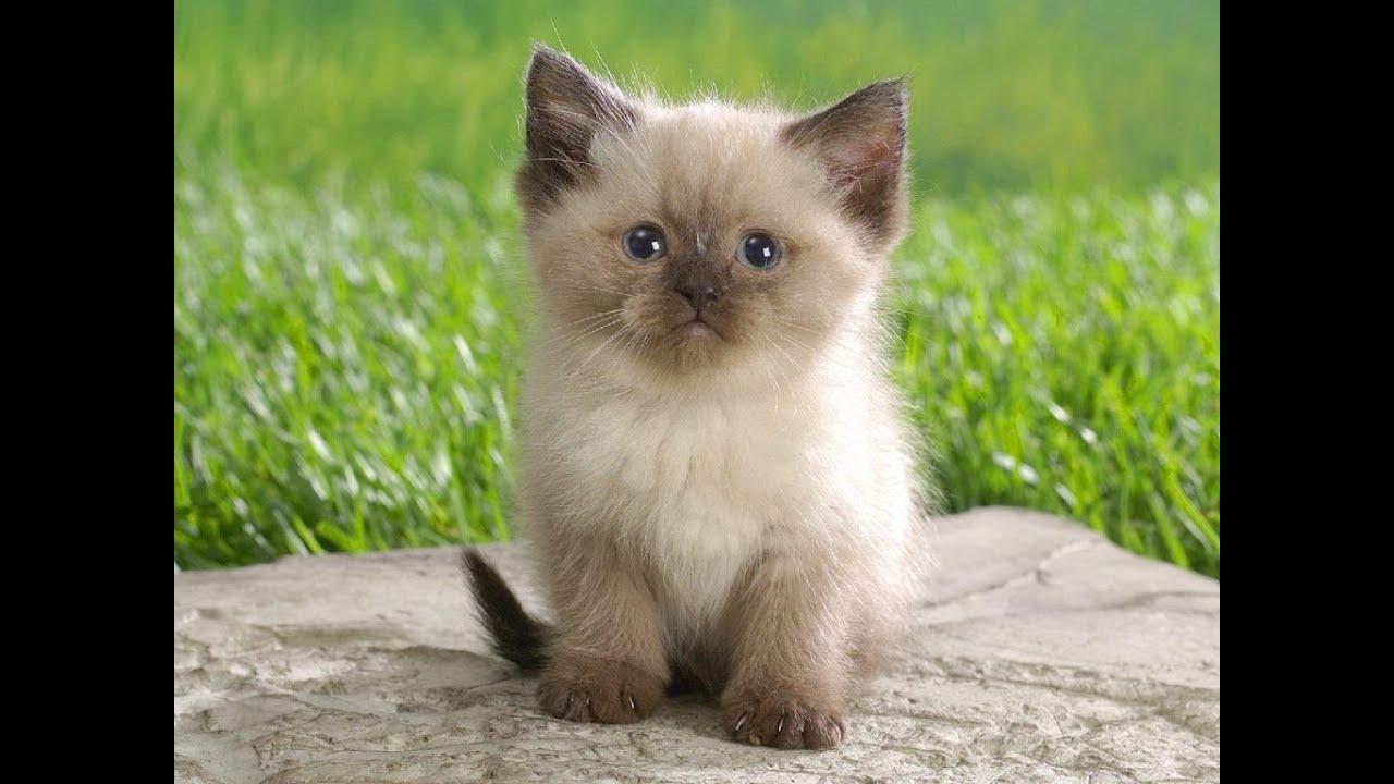 Cats 101 ragdoll animal planet