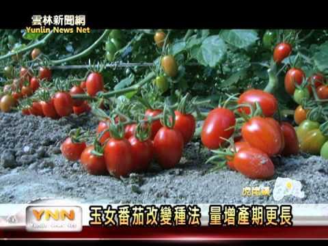 玉女小番茄種植方法改變  量增產期更長